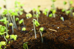 New life concept. Green seedlings in new life concept,Closeup royalty free stock image