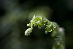 New life from Fern leaf. Slowly unfirls with selective focus from sweetspot lens stock photography