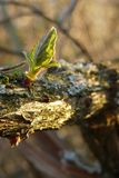 New life. The first spring green leaf on a branch Stock Photography