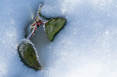 New life. Green leaf in fresh snow symbolizing new life royalty free stock image