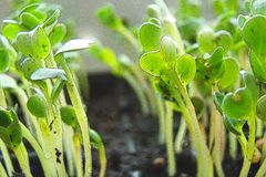 A new life of green radish sprouts growing out of the earth. stock photography