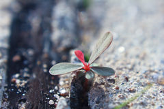 New life growing from concrete Royalty Free Stock Photo