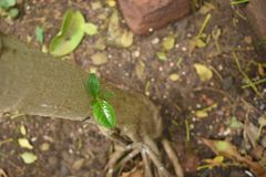 New Life - Growth of New Leaves on an Old Tree Bark. Seeing a young one grow is always energizing... This is a photograph of fresh green leaves growing over an Royalty Free Stock Image