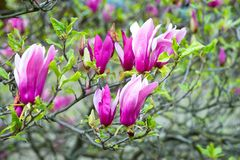 New life, growth. Magnolia tree in violet flowers on sunny day, spring. Blossom, bloom, flowering. Spring season concept. Nature, beauty, environment Stock Photos