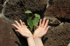 New life. Hands care about new life, new plant grow through rock Royalty Free Stock Photography