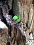 New Life - Hope. A new plant (life) growing from dry wood royalty free stock image