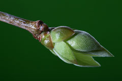 New life -  lilac bud against green background Royalty Free Stock Image