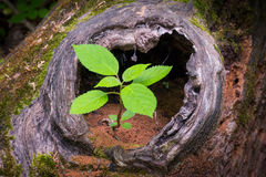 New Life from Old. A young tree sapling grows out of a hole in the trunk of a fallen dead tree on the forest floor stock photo