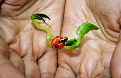 New life. Plant and ladybug in female hands stock photo