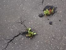Close-up top view of the green plant grows through asphalt stock photography