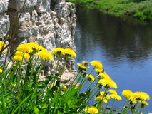 New life among ruins. Dandelions on ruins of an ancient fortress royalty free stock image