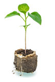 New life. Sapling before planting in open ground Stock Photos