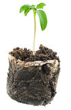 New life. Sapling before planting in open ground Royalty Free Stock Photo