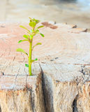 New life Seedlings on stump Royalty Free Stock Image