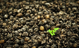New life. Small sprout in the middle of a heap of walnuts royalty free stock image