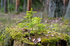 New life. Small spruce grow from the old stump Royalty Free Stock Image