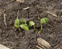 New Life. Soybean seedlings sprouting in soil on an Iowa farm. Selective focus is on the soybean sprouts royalty free stock photos