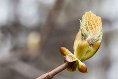 New life spring time concept. Horse chestnut bud bursting into leaves. Castania tree branch macro view. Shallow depth of royalty free stock photography