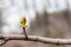 New life spring time concept. Horse chestnut bud bursting into leaves. Castania tree branch macro view. Shallow depth of stock image