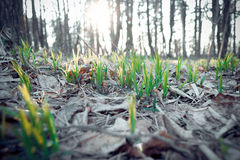 New Life. Sprouts breaking through the pile of old leaves Royalty Free Stock Photo