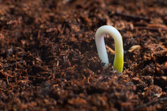 New life start. New beginnings. Plant germination on soil. Royalty Free Stock Images