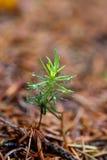 New life - sucker tree Royalty Free Stock Image