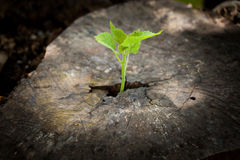 New life on the timber. New development and renewal as a business concept of emerging leadership success as an old cut down tree and a strong seedling growing in Royalty Free Stock Photo