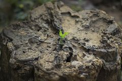 New life of trees by germination of seedlings on stumps.  royalty free stock photo