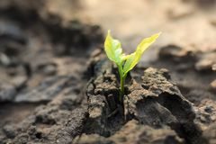 New life of trees by germination of seedlings on stumps.  royalty free stock photography