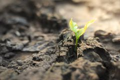 New life of trees by germination of seedlings on stumps.  royalty free stock image