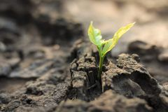 New life of trees by germination of seedlings on stumps.  royalty free stock photos