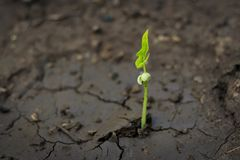 New life of trees by germination of seedlings on stumps.  stock image