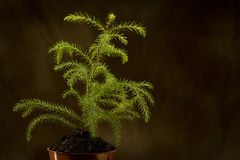 New Life. A young fern plant on a black brown background royalty free stock images