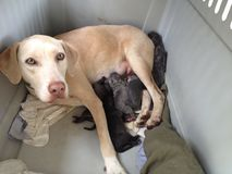 The new mama Weimarmer/ Lab mix with her newly born puppies Royalty Free Stock Images
