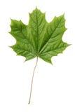 New maple leaf on white. Stock Photos