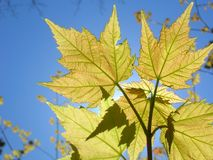 New Maple Leaves in the sun Stock Photos