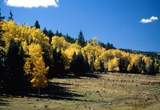 New Mexico Aspen Royalty Free Stock Image