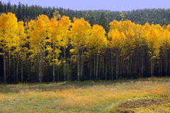 New Mexico Aspens Royalty Free Stock Photography