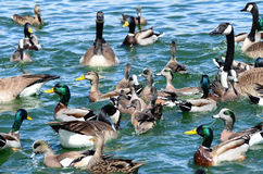 New Mexico birds wild ducks, goose and geese waterfowl in the bl Royalty Free Stock Photo