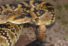 New Mexico Crotalus molossus Royalty Free Stock Photos