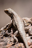 New Mexico Desert Lizard on Rock Royalty Free Stock Images