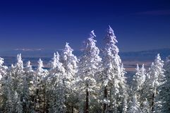 New Mexico Mountain Winter Pine Trees in Snow Royalty Free Stock Photos