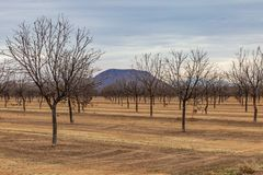 A New Mexico Nut Farm in Winter. Bare nut trees in winter, growing in New Mexico royalty free stock images