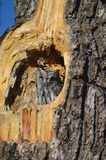 New Mexico Owl. This shot is of a little owl spotted in a old Pine tree in central New Mexico Stock Photography