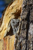 New Mexico Owl in tree. This shot is of a little owl spotted in a old Pine tree in central New Mexico Royalty Free Stock Photo