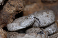 New Mexico ridge-nosed rattlesnake Royalty Free Stock Images