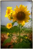 New Mexico sunflower royalty free stock photo
