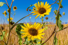 New Mexico Sunflowers Stock Photos