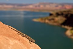 New Mexico whiptail lizard Royalty Free Stock Photo