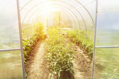 New modern small greenhouse at garden in summer. Rows of tomato plants in a greenhouse stock image